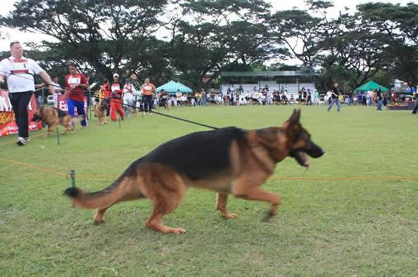 Ilac vom Kolenda 1st Place, becomes VA1 Philippine Sieger Show 2010