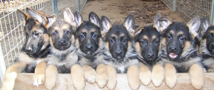 Akc German Shepherd Puppies For Sale German Shepherd Breeder Mi