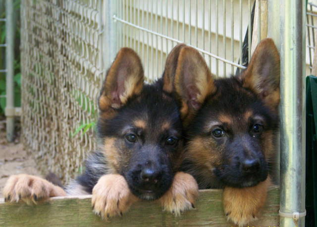 Purebred German Shepherd Puppies from Kolenda Kennels.