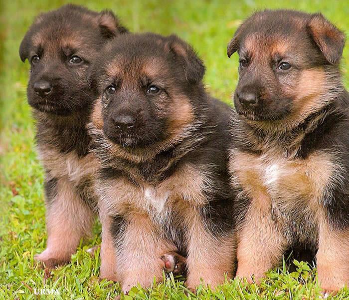 Akc German Shepherd Puppies For Sale German Shepherd Breeder Mi
