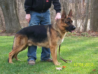 View SG Markel vom Kolenda BH Schutzhund trained Hips'a' Normal, Elbows 'a' Fast Normal, DM Free